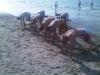 boxer-beach-3